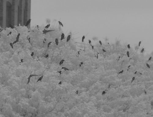 Fish Crows: staging and roosting