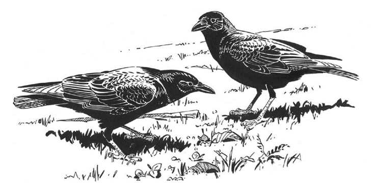 American Crows. Illustration by Barry Van Dusen