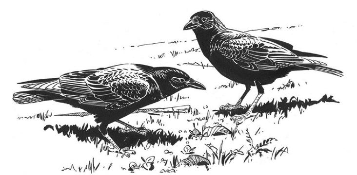 American Crows. Illustration by Barry Van Dusen