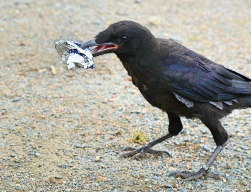 In France: Crows to pick up trash??