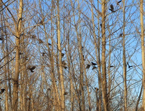 Crow Patrol: staging Bulfinch Drive