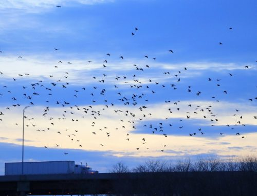 Winter Crow Roost: days are longer!