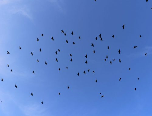 Staging: Fish Crows and American Crows