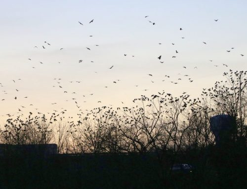 Winter Crow Roost: time lapse into roost!