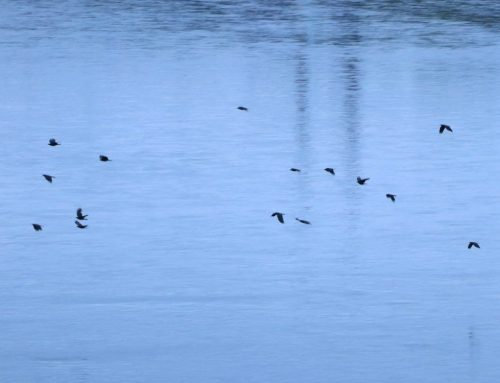 Fish Crows in the overnight roost!