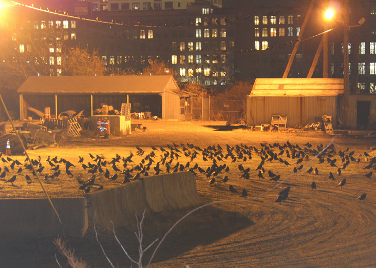 The National Grid substation on South Canal Street is one of the crows' staging areas. Crows cover the ground, fill the trees, and perch on the utility wires.
