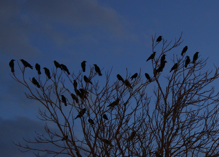 Silence falls when the crows settle into their overnight roost.