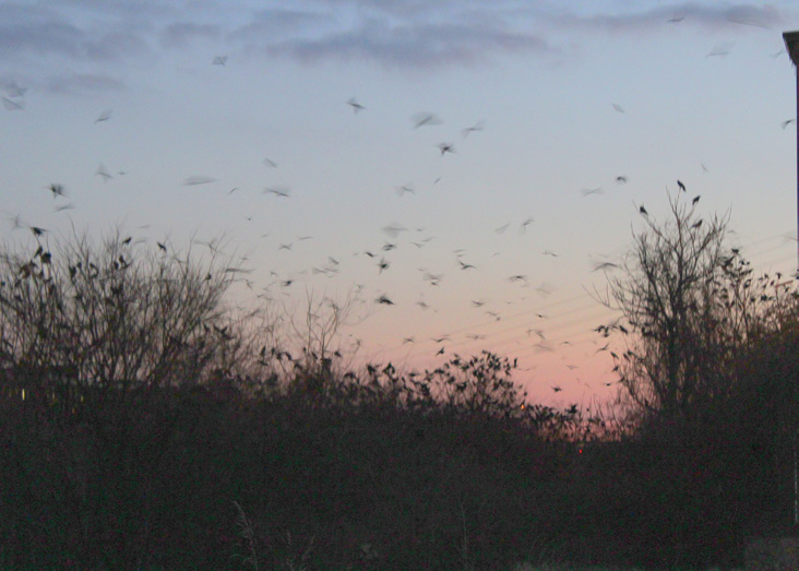 Crows leave the roost before sunrise, flying over the Merrimack River.