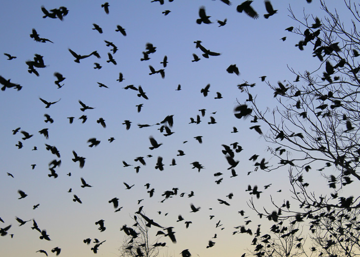 Just after sunset on December 28, 2017, hundreds, if not thousands, of crows pour into a staging area on the west side of the O'Leary Bridge Rt. 28/Broadway by the Great Stone Dam.