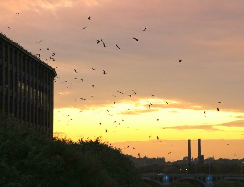 Crows at sunset over Merrimack River