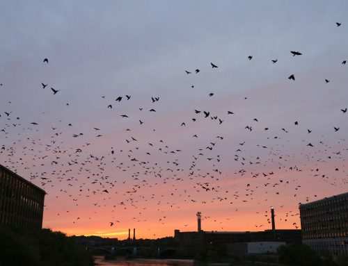 Crow Patrol: swarms at sunset!