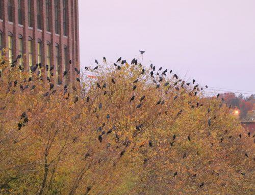 Crow Patrol at sunrise again!