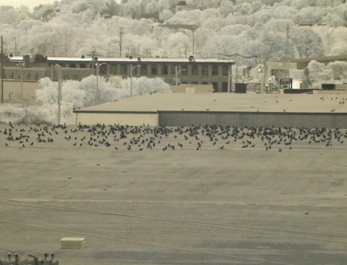 Winter Crow Roost: staging on rooftops!