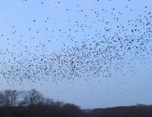 Winter Crow Roost: 20,000 Crows!!!