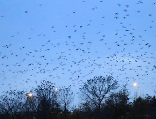 Winter Crow Roost: staging and roosting