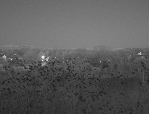 Winter Crow Roost: dusk and dawn!