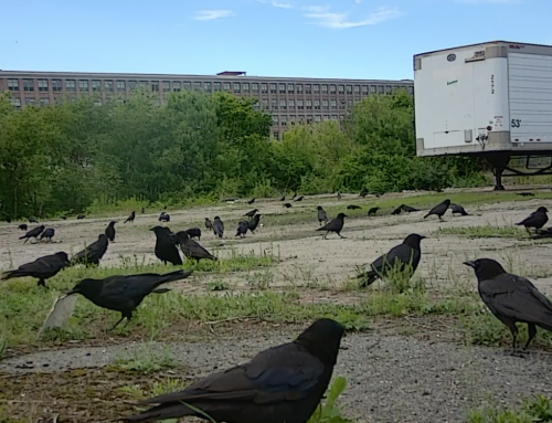 Fish Crow staging in timelapse video!