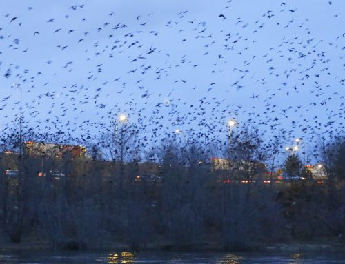 Winter Crow Roost: mayhem then quiet!
