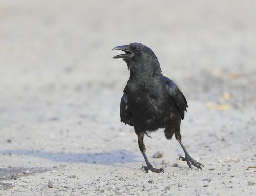 Young Fish Crows again!