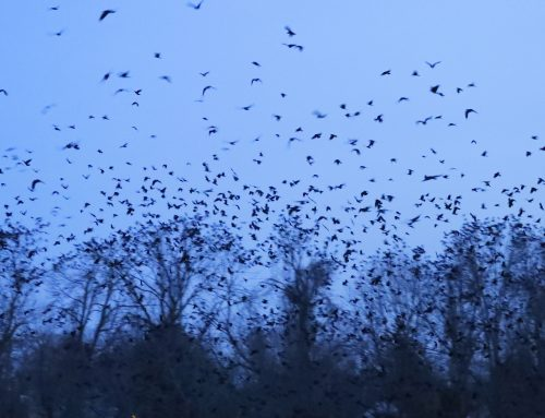 Winter Crow Roost: roosting south side!