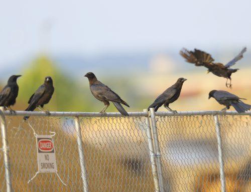Fish Crows at Riverwalk behind 280 Merrimack St.