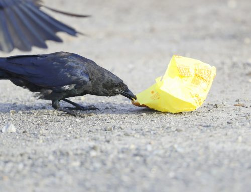 Nat Geo: Crows Love Cheeseburgers!