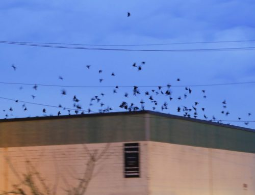 Winter Crow Roost: staging at B&D Warehouse