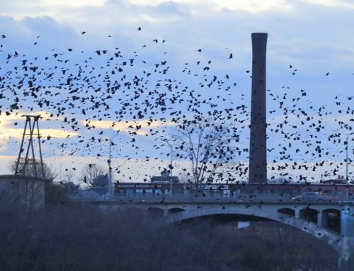 Winter Crow Roost: from Mill240 Park!