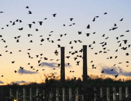 Winter Crow Roost: staging around Casey Bridge!