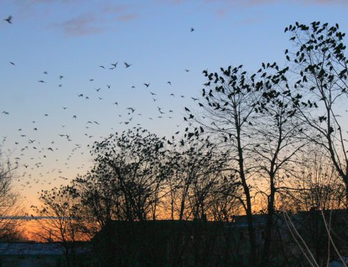 Crow Patrol: dispersal at twilight!