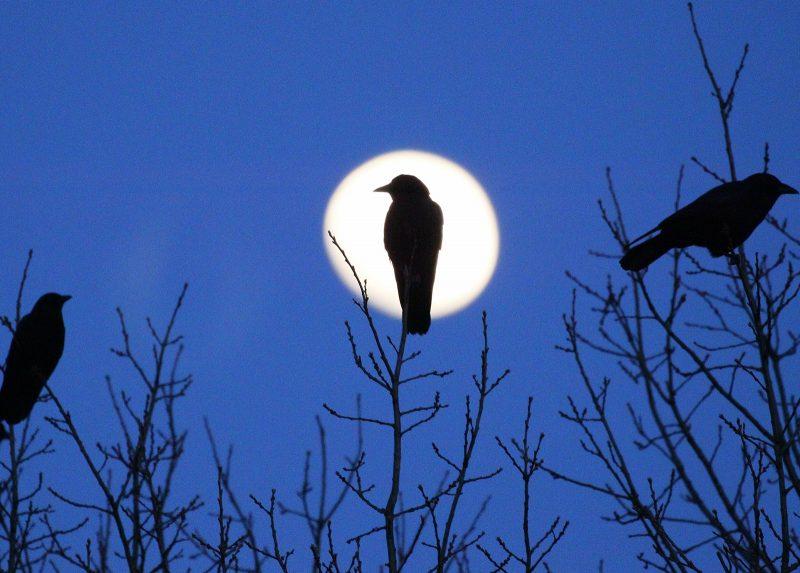 crow moon silhouette
