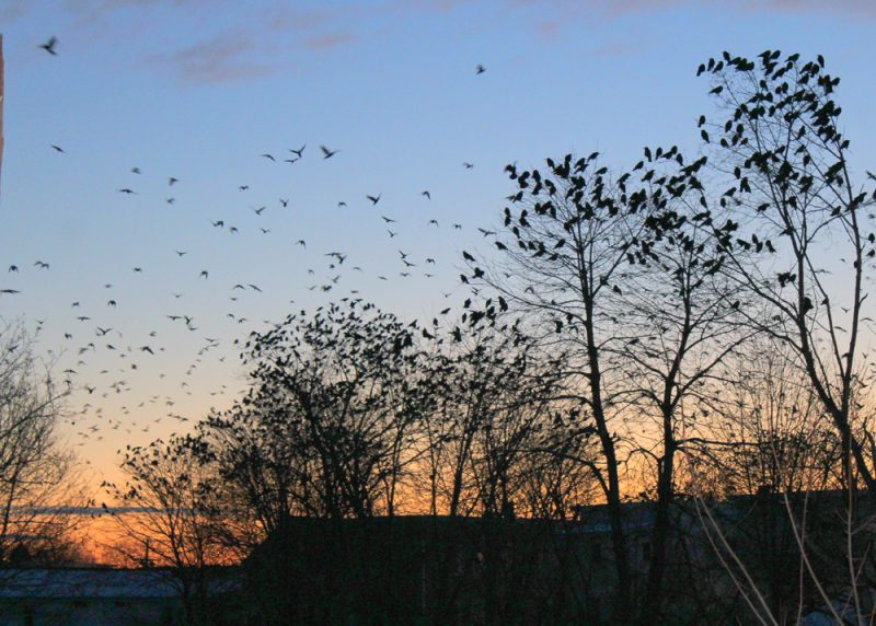 Morning Crow Dispersal on Valentine's Day