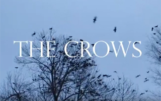 Crows flock to downtown Middlebury