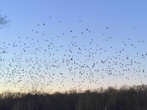 Winter Crow Roost 2017 - 2018